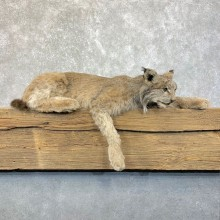Canadian Lynx Life-Size Taxidermy Mount For Sale #23922 @ The Taxidermy Store