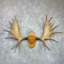Canadian Moose Antler Plaque For Sale #23130 @ The Taxidermy Store