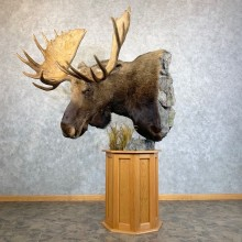 Canadian Moose Pedestal Taxidermy Mount For Sale #23730 @ The Taxidermy Store
