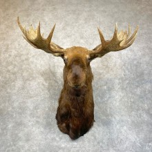 Canadian Moose Shoulder Mount For Sale #24227 @ The Taxidermy Store