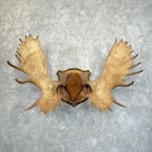 Canadian Mouse Antler Plaque For Sale #24242 @ The Taxidermy Store