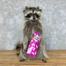 Candy Raccoon Mount For Sale #23423 @ The Taxidermy Store