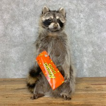 Candy Raccoon Mount For Sale #23424 @ The Taxidermy Store