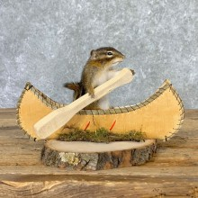 Canoe Chipmunk Novelty Mount For Sale #23242 @ The Taxidermy Store
