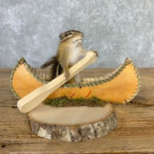 Canoe Chipmunk Novelty Mount For Sale #23243 @ The Taxidermy Store