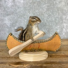 Canoe Chipmunk Novelty Mount For Sale #23245 @ The Taxidermy Store