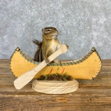 Canoe Chipmunk Novelty Mount For Sale #23249 @ The Taxidermy Store
