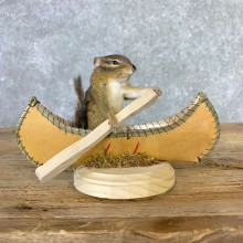 Canoe Chipmunk Novelty Mount For Sale #23252 @ The Taxidermy Store
