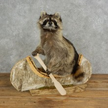 Canoeing Raccoon Novelty Mount For Sale #17114 @ The Taxidermy Store