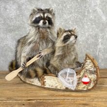 "Canoeing ""Pals"" Raccoons Novelty Taxidermy Mount For Sale"