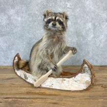 Canoeing Raccoon Novelty Mount For Sale #23198 @ The Taxidermy Store