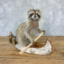 Canoeing Raccoon Novelty Mount For Sale #23199 @ The Taxidermy Store