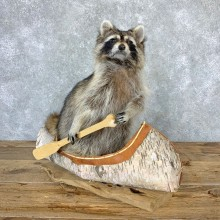 Canoeing Raccoon Novelty Mount For Sale #23200 @ The Taxidermy Store