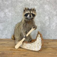 Canoeing Raccoon Novelty Mount For Sale #23203 @ The Taxidermy Store