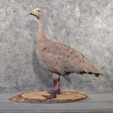 Cape Barren Goose Mount #11497 - For Sale - The Taxidermy Store