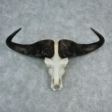 Cape Buffalo Skull & Horns Taxidermy European Mount #12731 For Sale @ The Taxidermy Store