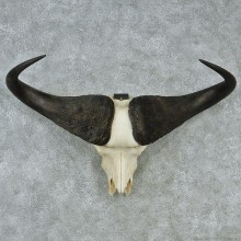 Cape Buffalo Skull and Horns Taxidermy Mount M1 #12730 For Sale @ The Taxidermy Store