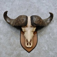 Cape Buffalo Skull European Mount For Sale #14534 @ The Taxidermy Store
