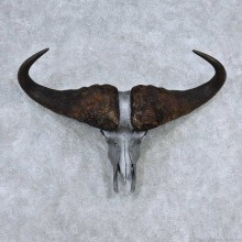 Cape Buffalo Skull Horns Mount For Sale #13902 For Sale @ The Taxidermy Store