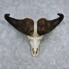 Cape Buffalo Skull Horns Mount For Sale #13906 For Sale @ The Taxidermy Store