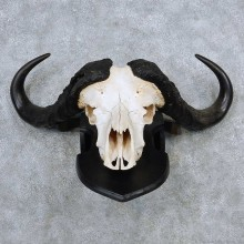 Cape Buffalo Skull Horns Mount For Sale #13931 For Sale @ The Taxidermy Store