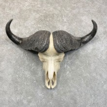 Cape Buffalo Skull Horns Mount For Sale #24231 For Sale @ The Taxidermy Store