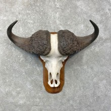 Cape Buffalo Skull European Taxidermy Mount For Sale