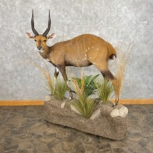 Cape Bushbuck Life-Size Taxidermy Mount #25065 For Sale @ The Taxidermy Store