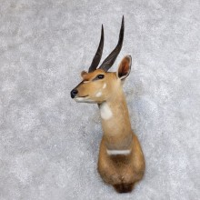 Cape Bushbuck Shoulder Mount For Sale #18636 @ The Taxidermy Store