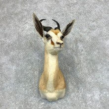 Cape Springbok Shoulder Mount For Sale #22129 @ The Taxidermy Store