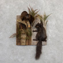 Captain's Classic Black Squirrel Display Taxidermy Mount #19814 For Sale @ The Taxidermy Store