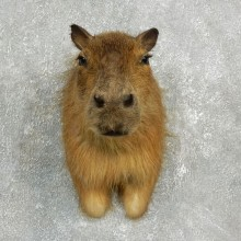 Capybara Shoulder Taxidermy Mount For Sale