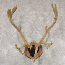 Caribou Plaque Taxidermy Mount For Sale #22351 @ The Taxidermy Store