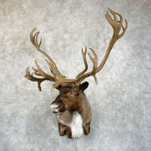 Caribou Taxidermy Shoulder Mount For Sale
