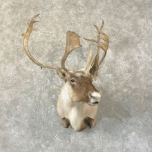 Caribou Taxidermy Shoulder Mount For Sale