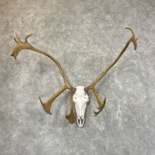 Caribou Skull & Horn European Mount For Sale #24537 @ The Taxidermy Store