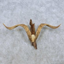 Catalina Goat Horns Taxidermy Mount For Sale #13948 For Sale @ The Taxidermy Store