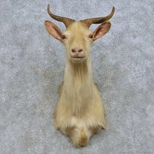 Catalina Goat Shoulder Mount For Sale #14665 @ The Taxidermy Store
