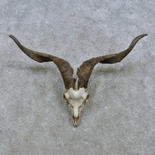 Catalina Goat Skull & Horn European Mount For Sale #15156 @ The Taxidermy Store