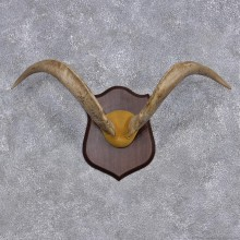 Catalina Goat Taxidermy Leather Horn Plaque #10923 For Sale @ The Taxidermy Store