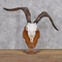 Catalina Goat Skull & Horn Taxidermy Plaque Mount #10915 For Sale @ The Taxidermy Store