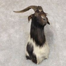 Catalina Goat Shoulder Mount For Sale #22523 @ The Taxidermy Store
