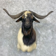 Catalina Goat Shoulder Mount For Sale #23953 @ The Taxidermy Store