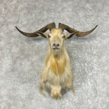 Catalina Goat Shoulder Mount For Sale #25498 @ The Taxidermy Store