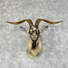Catalina Goat Shoulder Mount For Sale #25499 - The Taxidermy Store