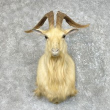 Catalina Goat Shoulder Mount For Sale #25500 - The Taxidermy Store