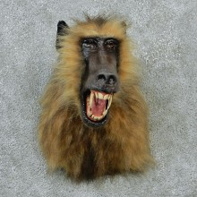 Reproduction Chacma Baboon Taxidermy Shoulder Mount For Sale