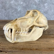 Chacma Baboon Taxidermy Full Skull Mount #22061 For Sale @The Taxidermy Store