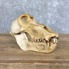 Chacma Baboon Taxidermy Full Skull Mount #22711 For Sale @The Taxidermy Store