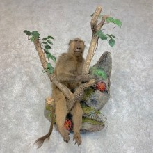 Chacma Baboon Taxidermy Life Size Mount #22776 For Sale @The Taxidermy Store